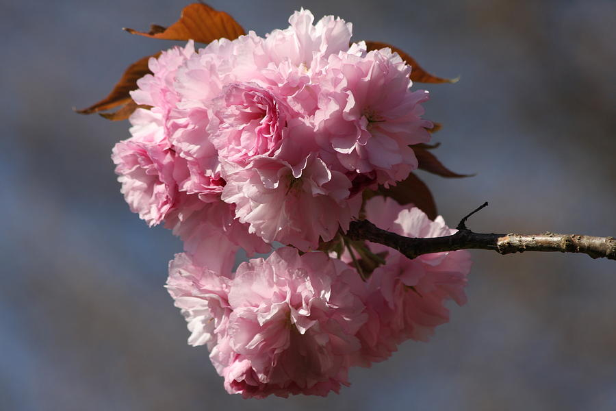 Spring Beauty Photograph - Spring Beauty by Vadim Levin