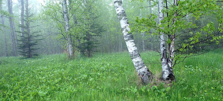 Birch Photograph - Spring Birch by Bill Morgenstern