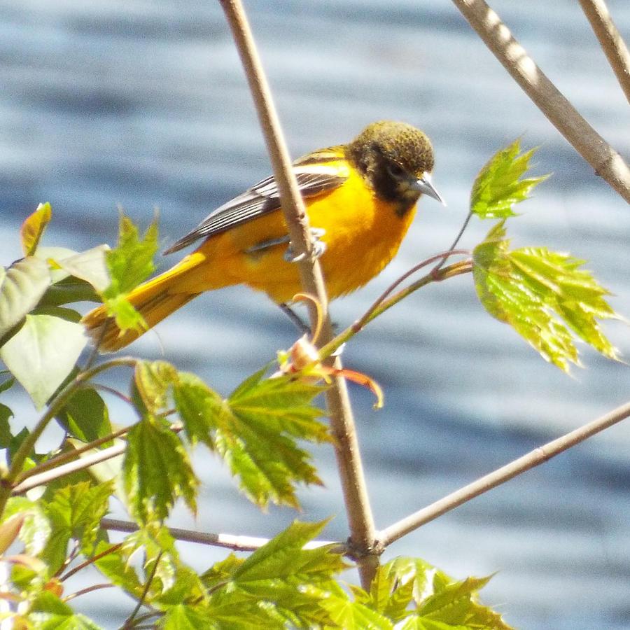 Spring Bird  Photograph by Lisa Roy
