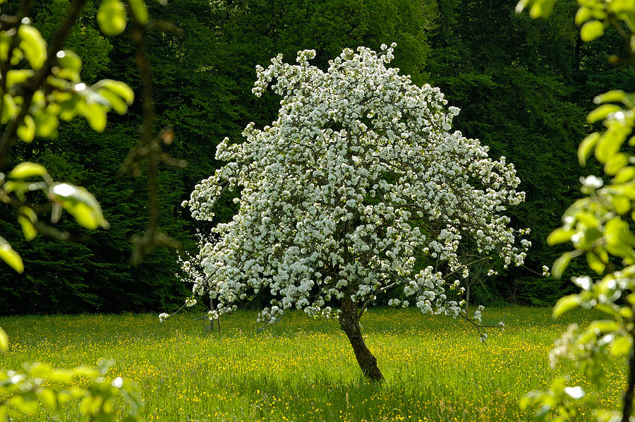 Spring - Blooming Apple Tree And Green Meadow Photograph