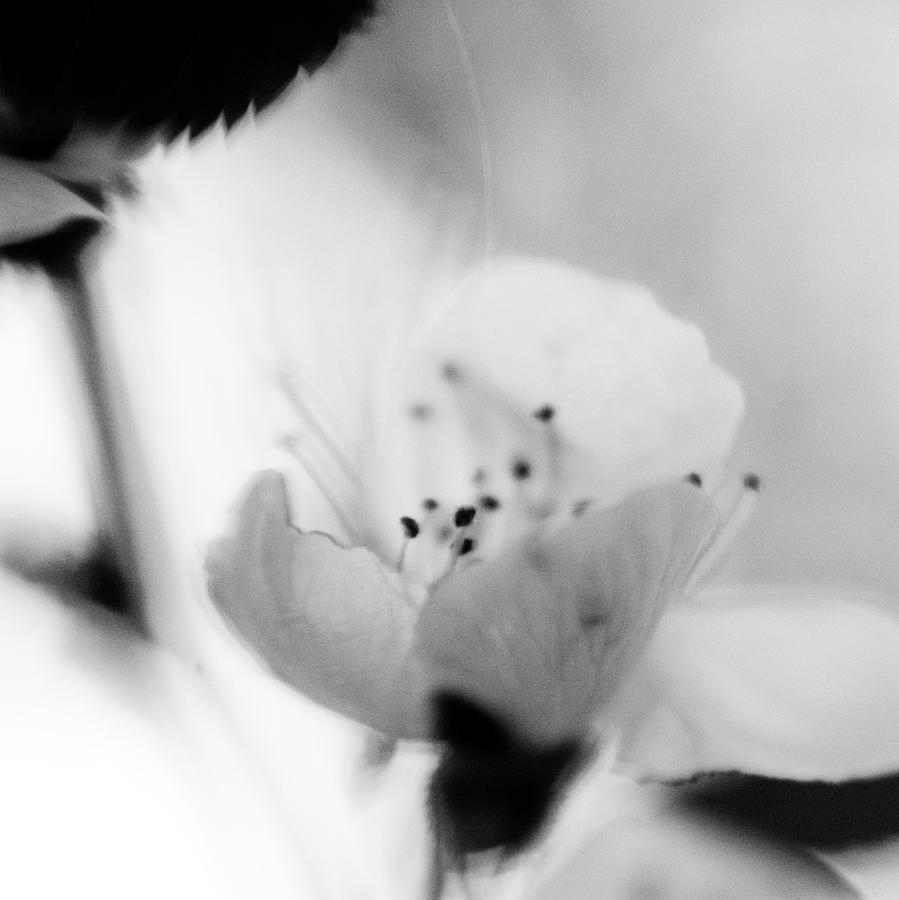 B&w Photograph - Spring Blooms 0189 by Timothy Bischoff
