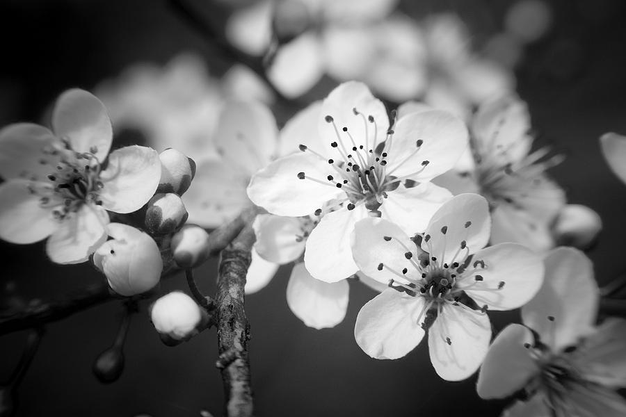 B&w Photograph - Spring Blooms 6690 by Timothy Bischoff