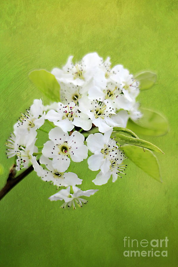 Backdrop Photograph - Spring Blooms by Darren Fisher