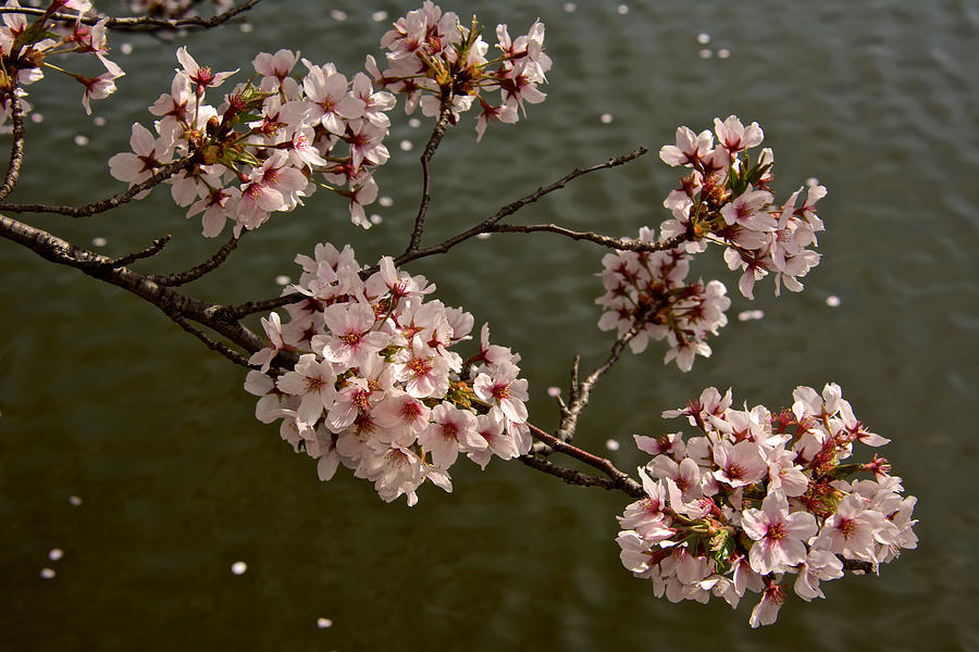 Capitol Photograph - Spring Blossoms by Kathi Isserman
