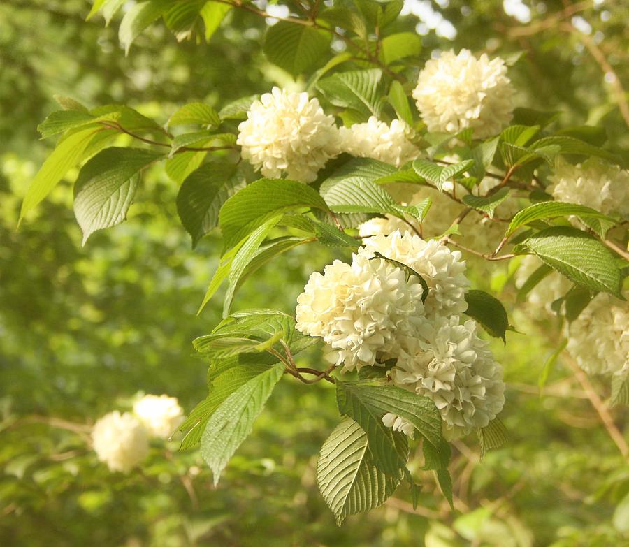 Flower Photograph - Spring Blossoms by Kim Hojnacki