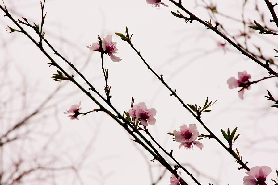 Flowers Photograph - Spring Blossoms by Vanessa Thomas