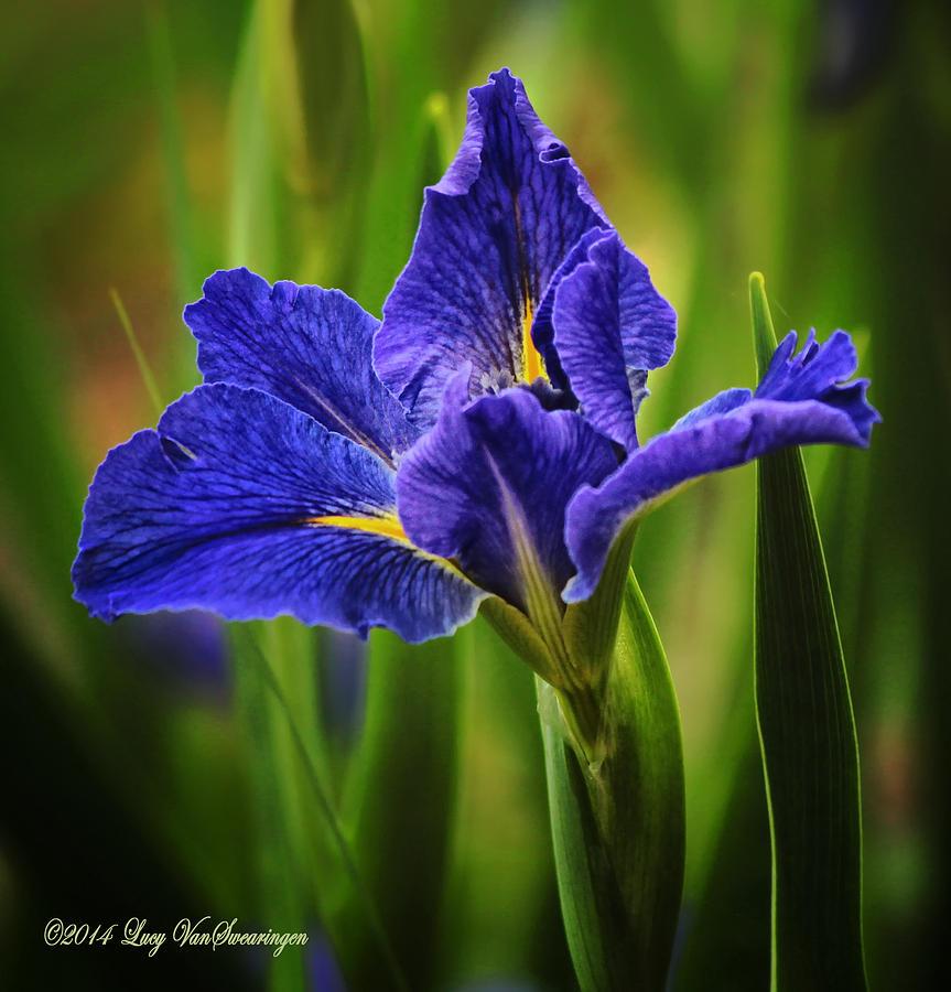 Spring Photograph - Spring Blue Iris by Lucy VanSwearingen