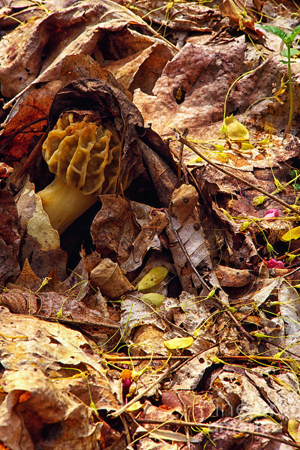 Morel Photograph - Spring Bounty Morel Mushroom by Thomas R Fletcher