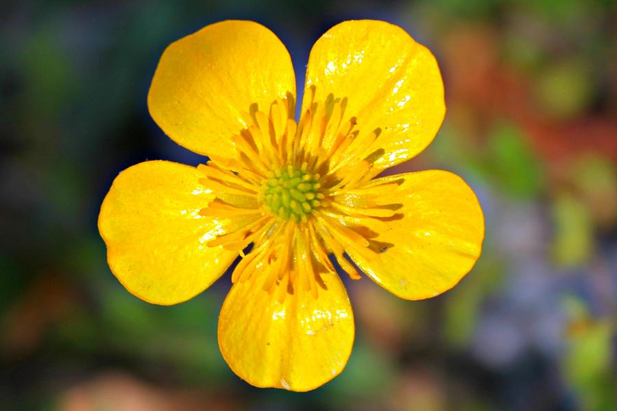 Buttercup Photograph - Spring Buttercup by Candice Trimble
