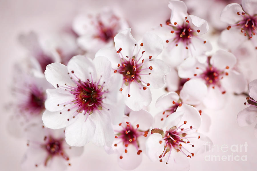 Flower Photograph - Spring Cherry Blossom by Elena Elisseeva