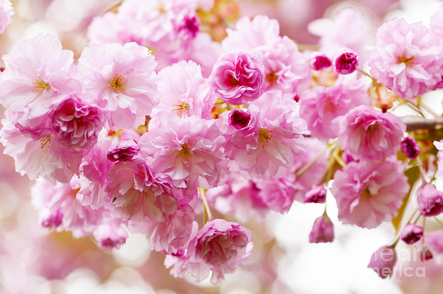 Cherry Photograph - Spring Cherry Blossoms  by Elena Elisseeva