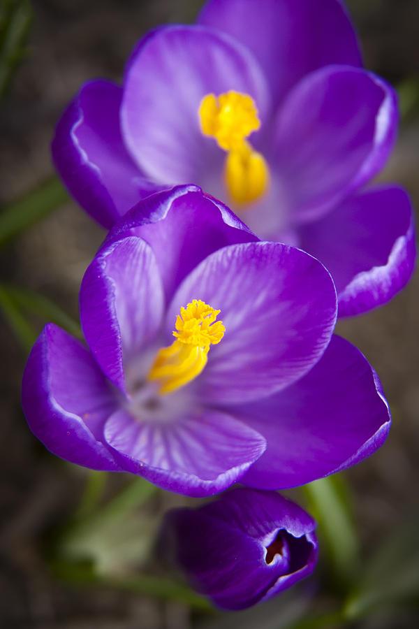 Spring Crocus Photograph