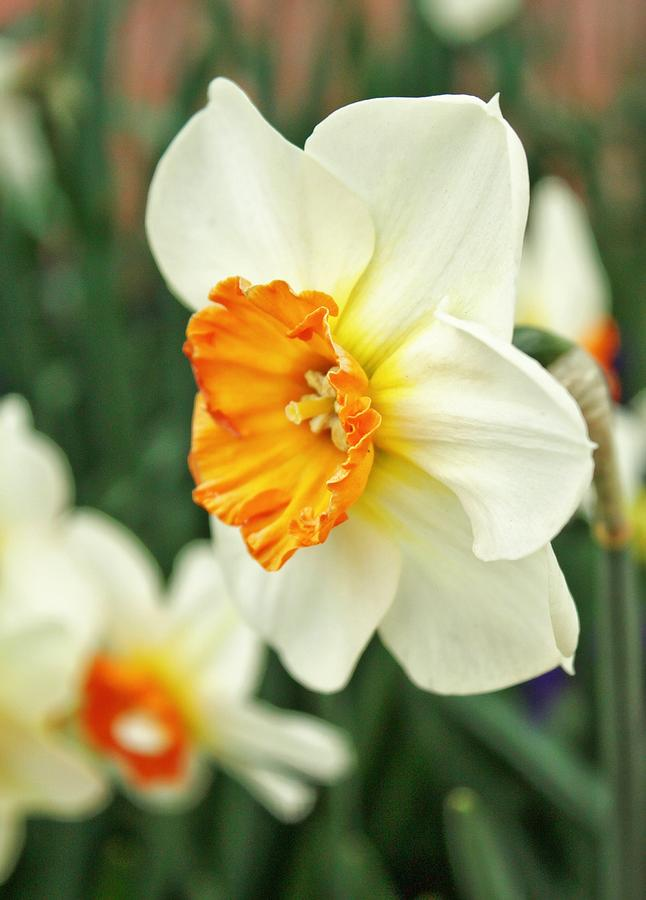 Daffodils Photograph - Spring Daffodil by Cathie Tyler