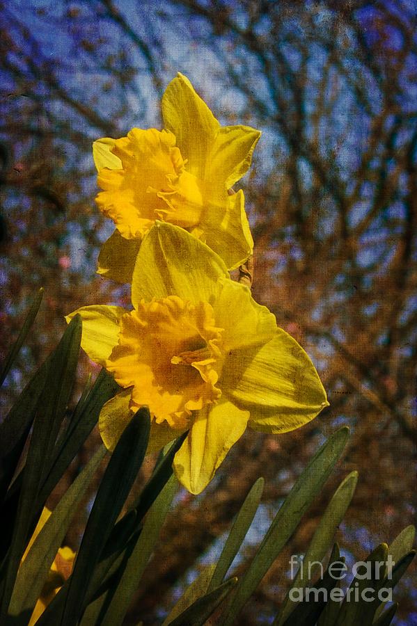 Daffodil Photograph - Spring Daffodils  by Brian Roscorla