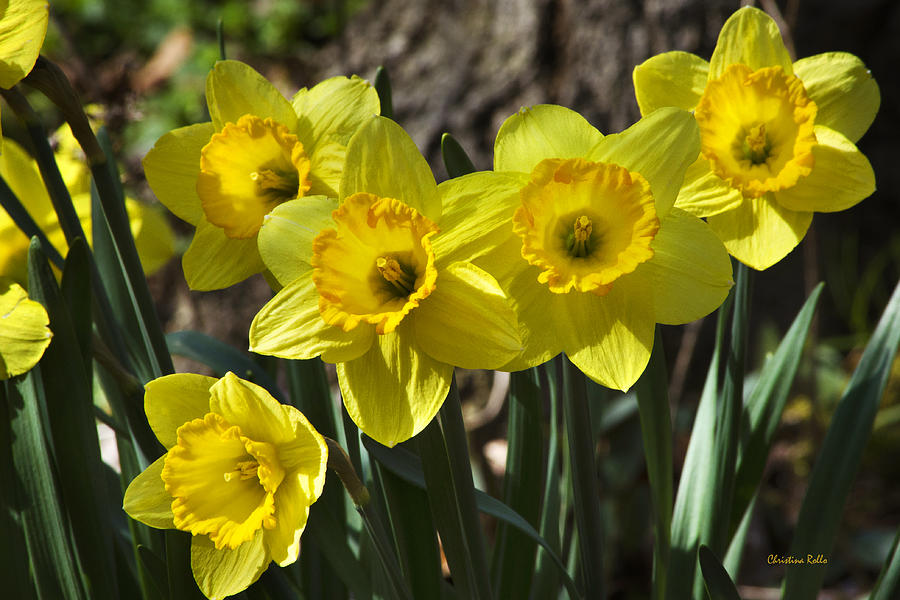 Spring Photograph - Spring Daffodils by Christina Rollo