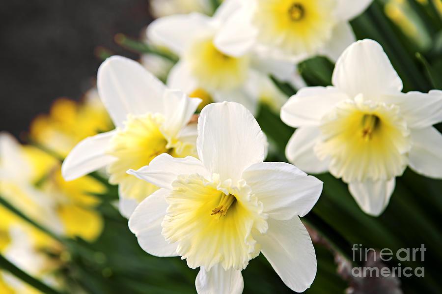 Daffodil Photograph - Spring Daffodils by Elena Elisseeva