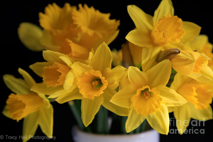 Daffodils Photograph - Spring Daffodils by Tracy  Hall