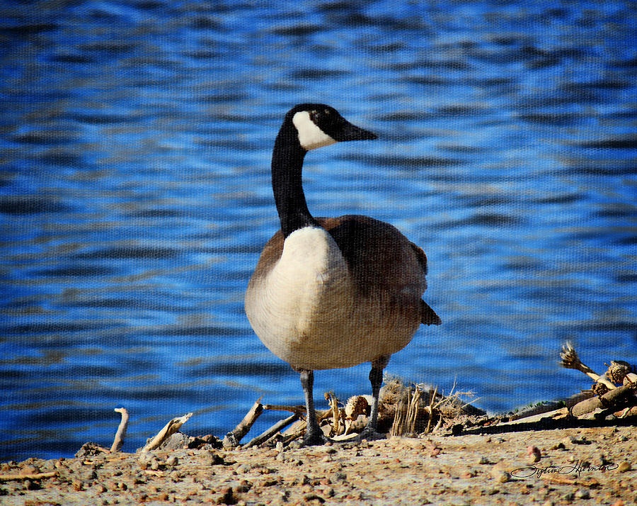 Canada Goose Photograph - Spring Day by Sylvia Thornton