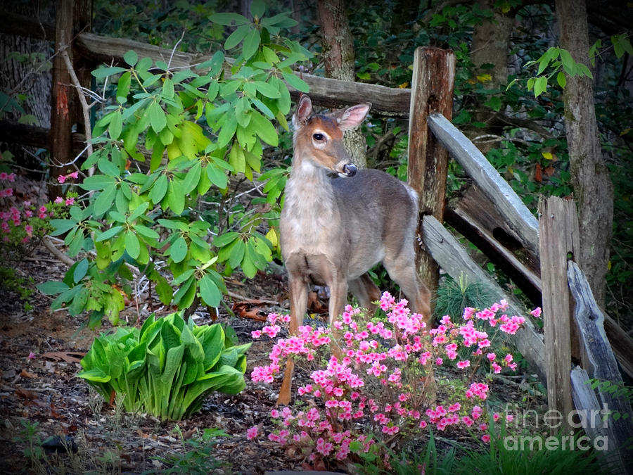 Deer Photograph - Spring Deer by Crystal Joy Photography