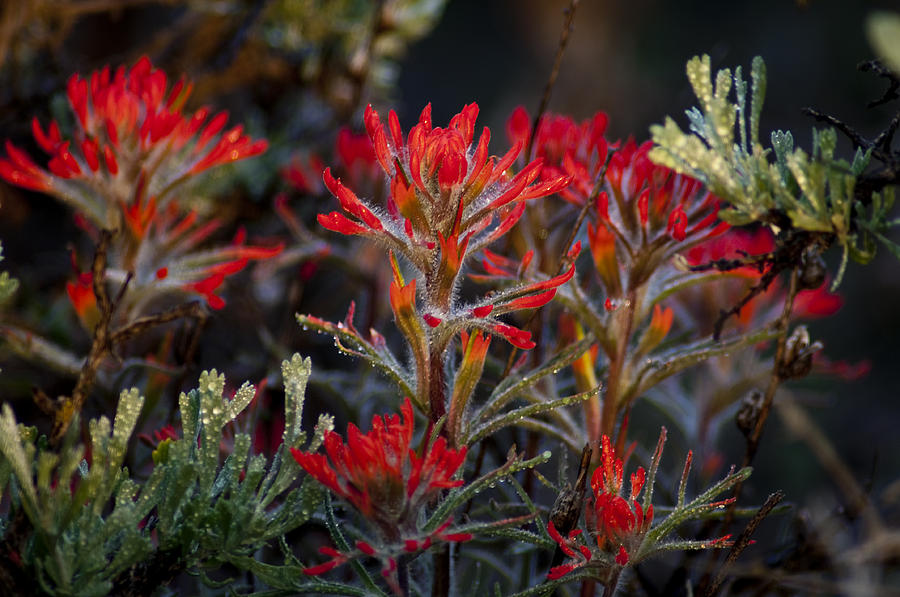 Paintbrush Photograph - Spring Dew Paintbrush by Eric Rundle