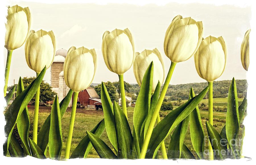 Tulip Photograph - Spring Down On The Farm by Edward Fielding