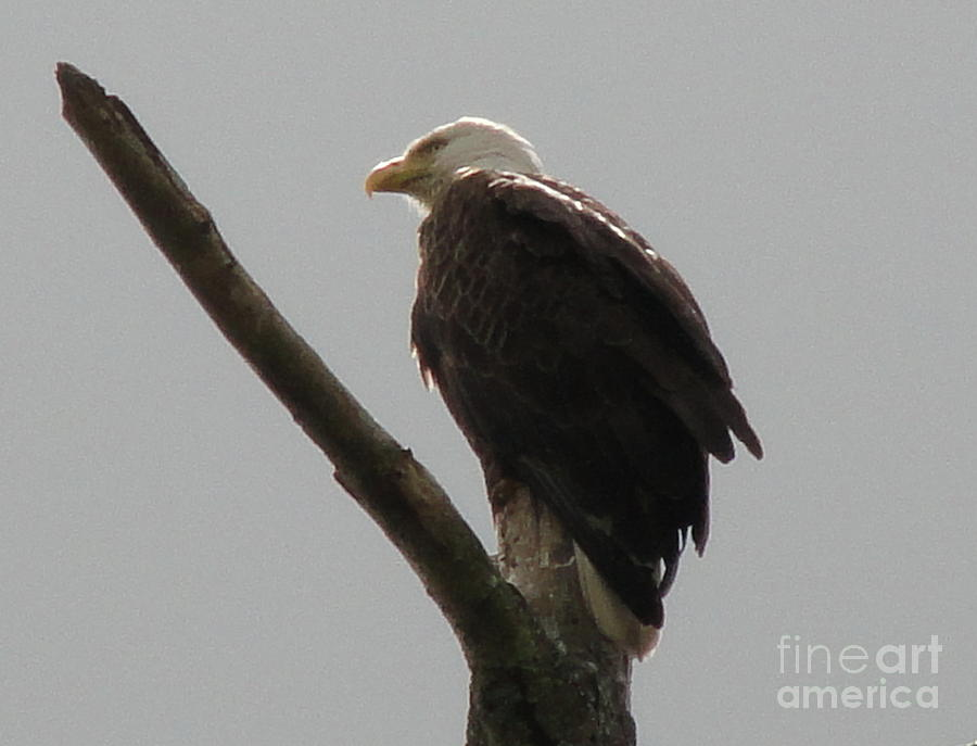Spring Photograph - Spring Eagle X by Daniel Henning