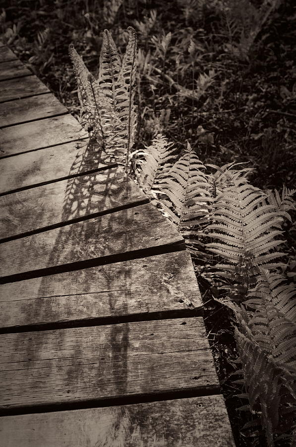 2014 Photograph - Spring Ferns beside the Limehouse Boardwalk by Alan Norsworthy