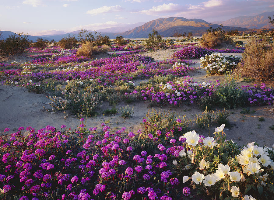 Spring Flowers Carpet Anza Borrego State Park Photograph by Ron and Patty Thomas