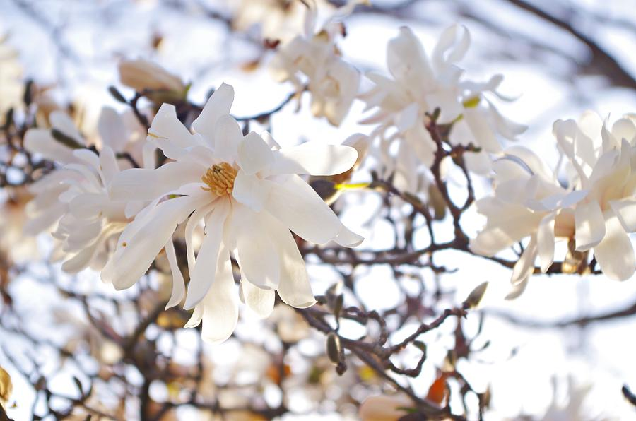 Magnolia Stellata Photograph - Spring Flowers by Sharon Popek