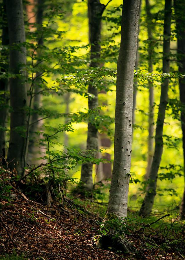 Forest Photograph - Spring Green Vertical Forest  by Svetoslav Sokolov