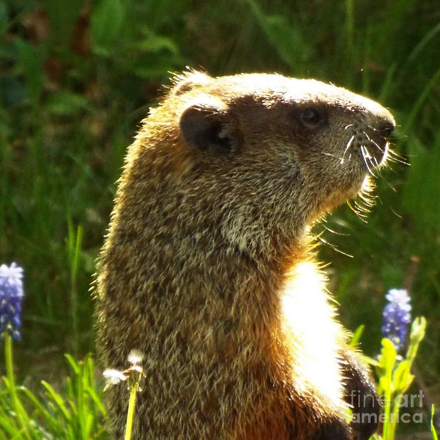 Spring Groundhog  Photograph by Lisa Roy