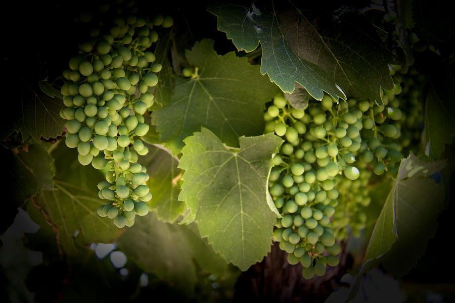 Grapes Digital Art - Spring by John Monteath