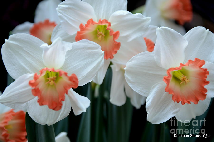 Jonquils Photograph - Spring Jonquils by Kathleen Struckle