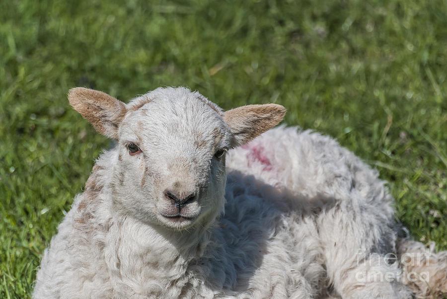 Spring Lamb 1 Photograph