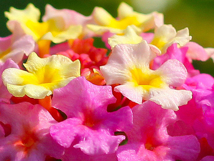 Lantana Photograph - Spring Lantana by James Hammen