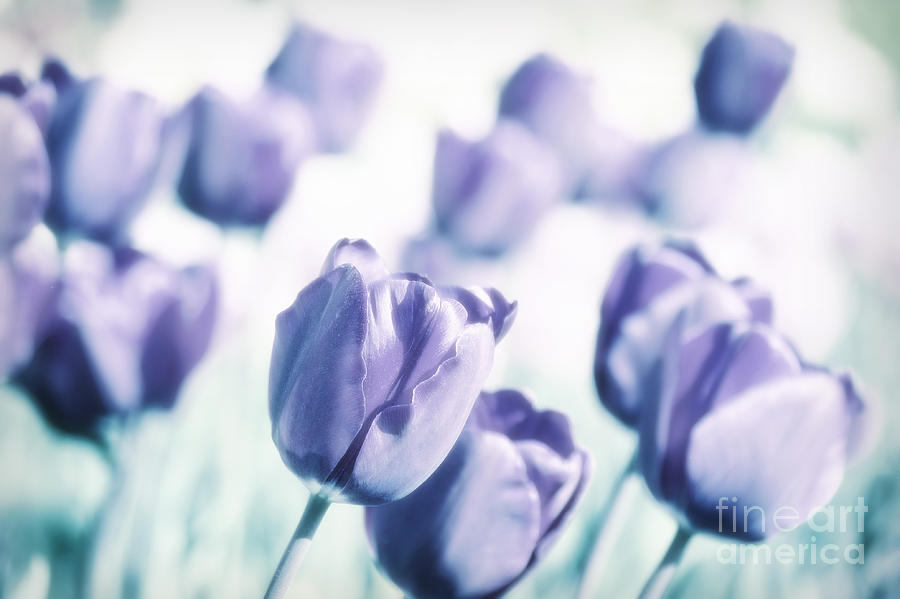 Tulips Photograph - Spring Love II by Angela Doelling AD DESIGN Photo and PhotoArt