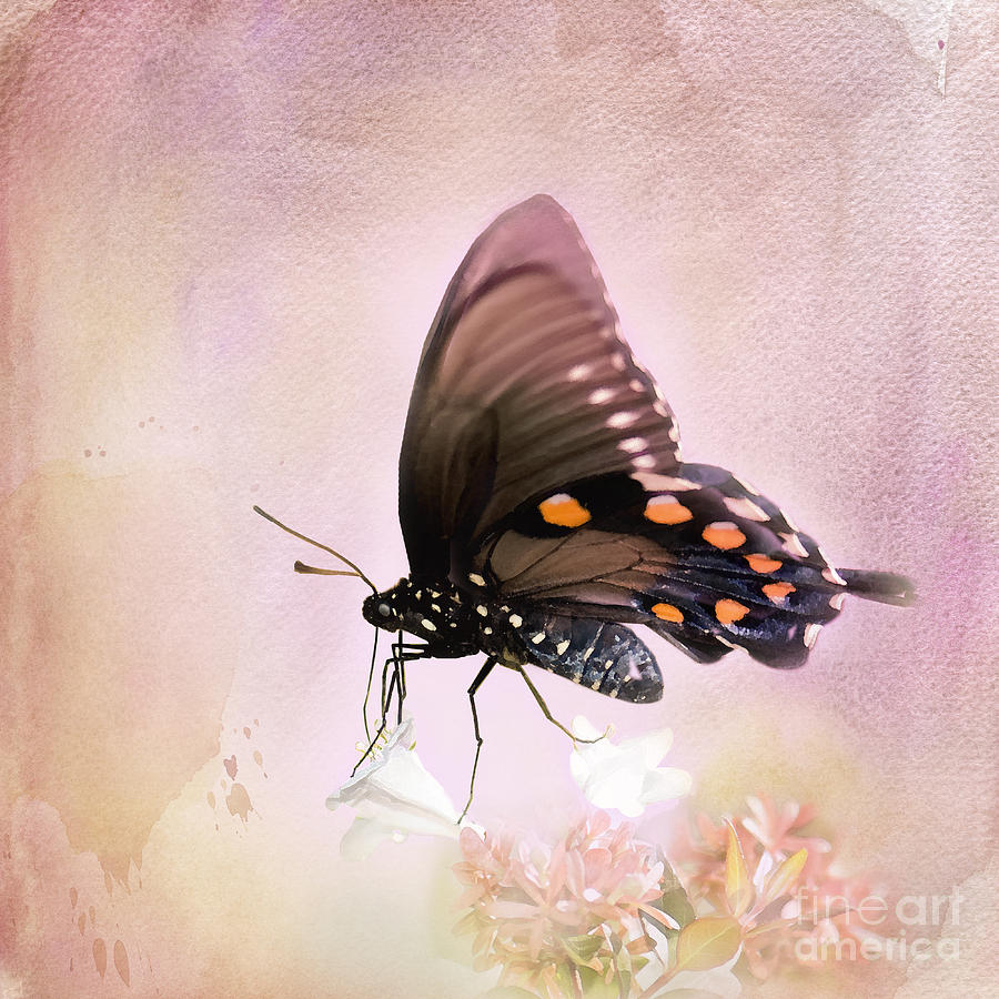 Pipevine Swallowtail Butterfly Photograph - Spring Morning by Betty LaRue