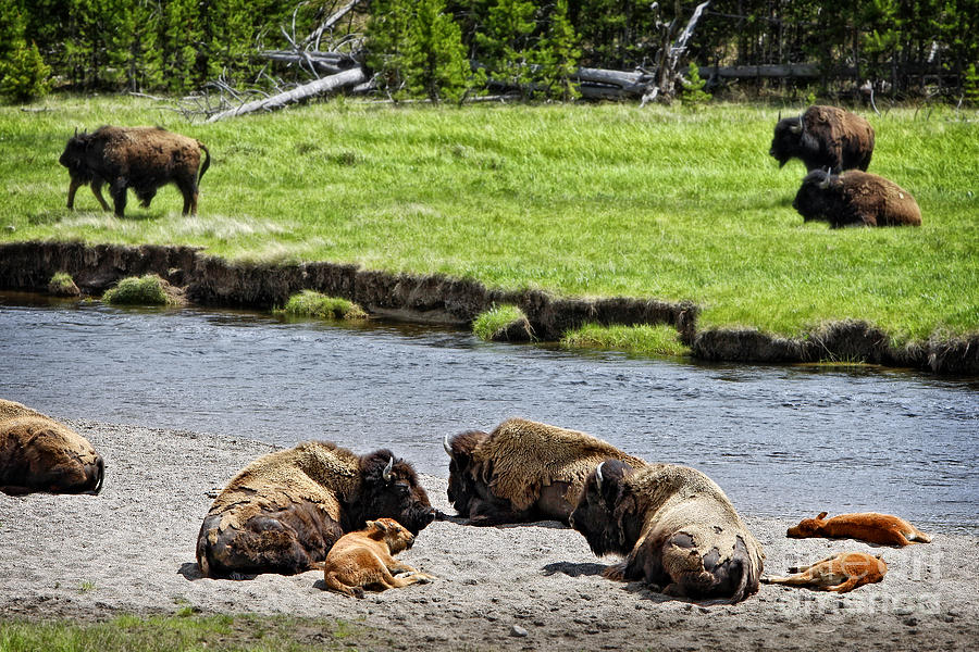 Bison Photograph - Spring Nap For Bison And Calves by Lincoln Rogers