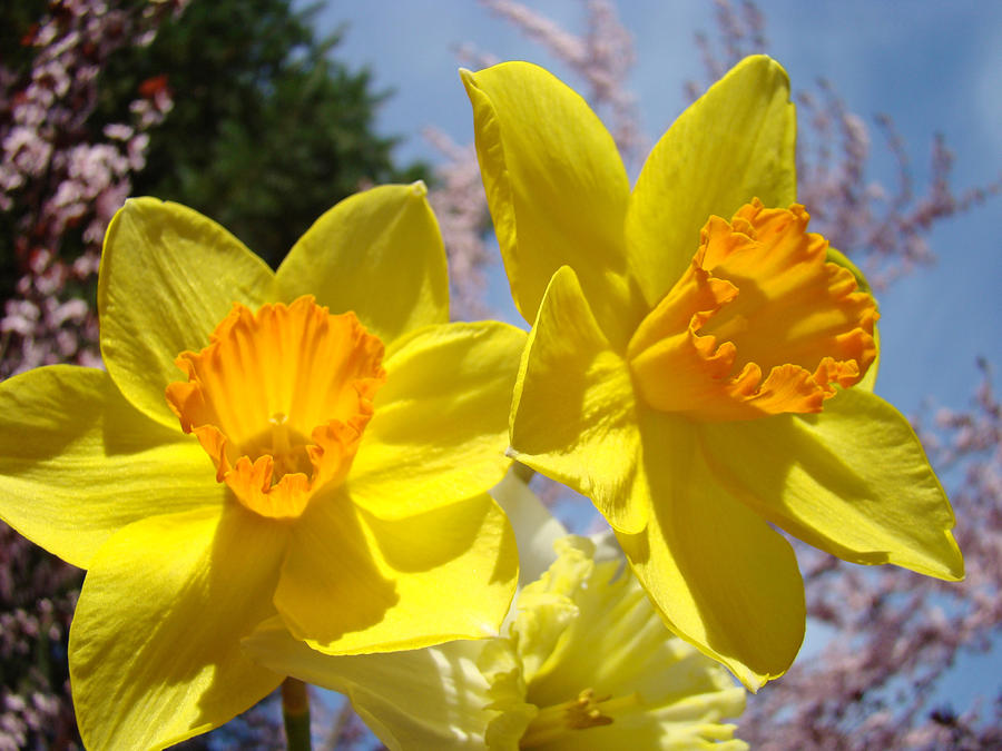 Spring Orange Yellow Daffodil Flowers Art Prints Photograph By