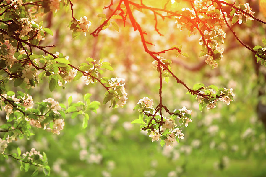 Spring Orchard In Sunset Light Photograph by Konradlew