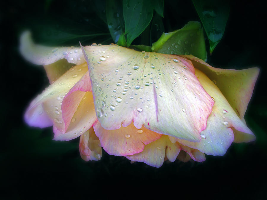 Flower Photograph - Spring Pearl by Jessica Jenney