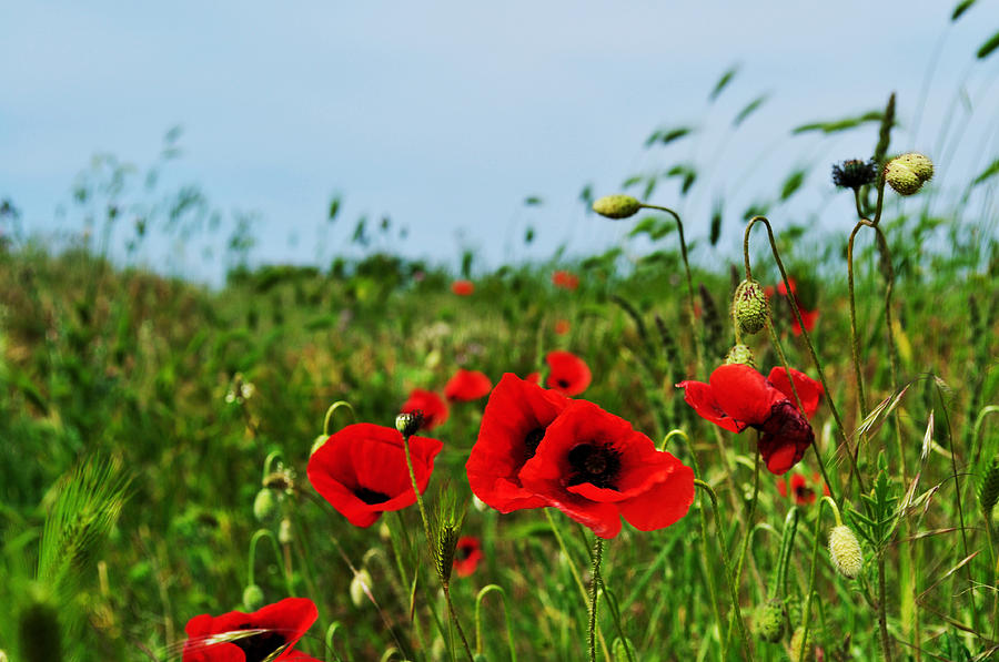 Poppy Field Photograph - Spring Poppy Field by Marina Slusar