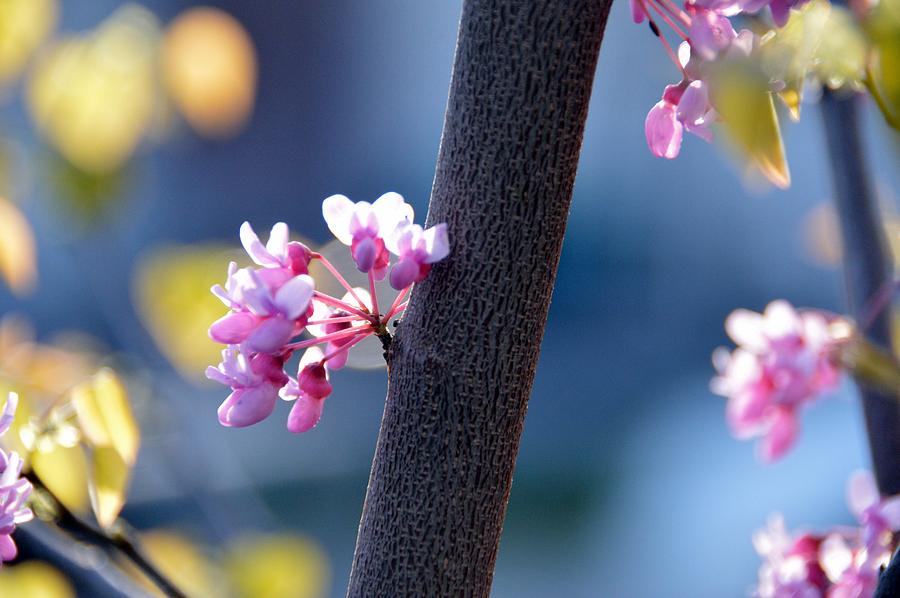 Spring Photograph - Spring Redbud by David Earl Johnson