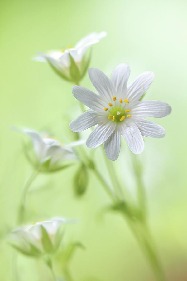 Stitchwort Photograph - Spring Sparkle by Mandy Disher