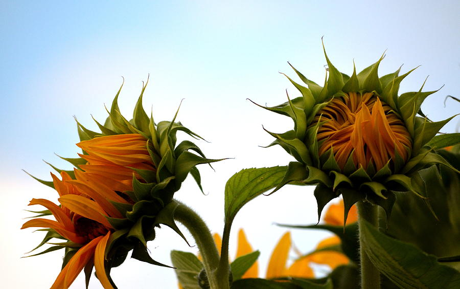 Sunflowers Photograph - Spring Sun Shine by Gregory Merlin Brown