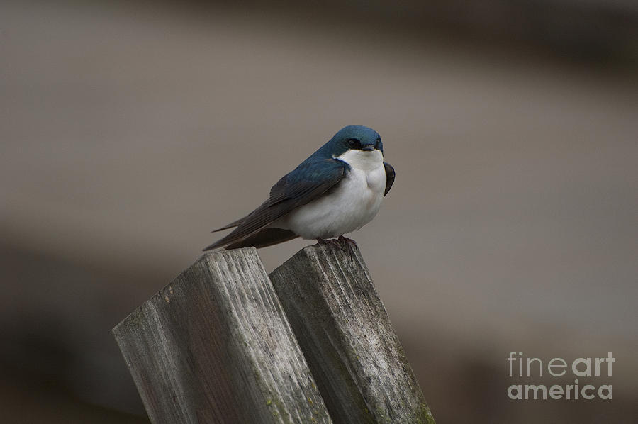 Spring Photograph - Spring Swallow by Joan Wallner