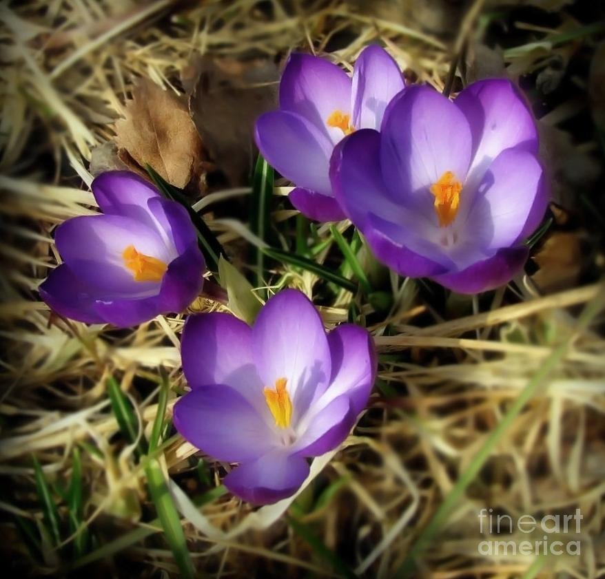 Flower Photograph - Spring by Sylvia  Niklasson