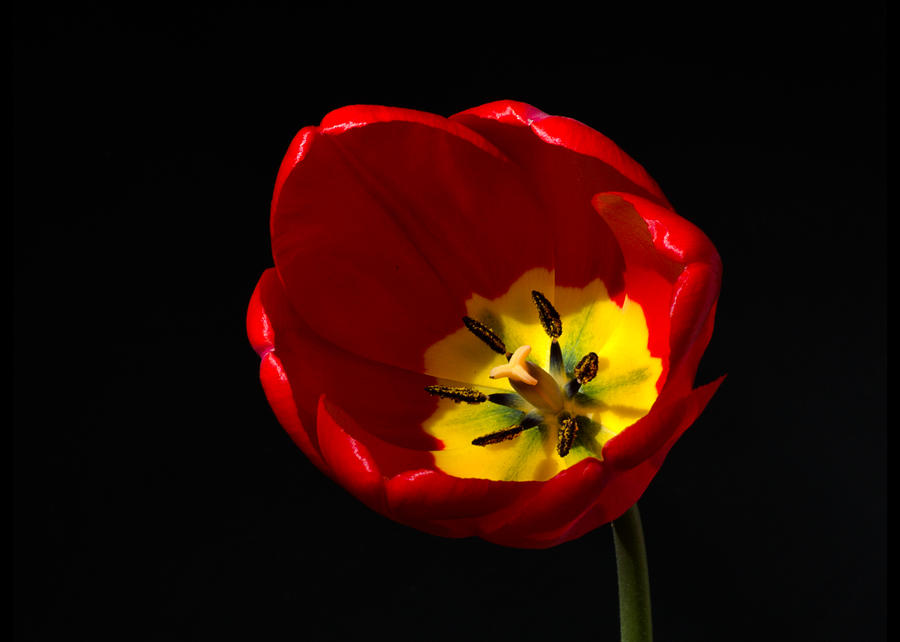Spring Tulip 2 Photograph by Kenneth Cole