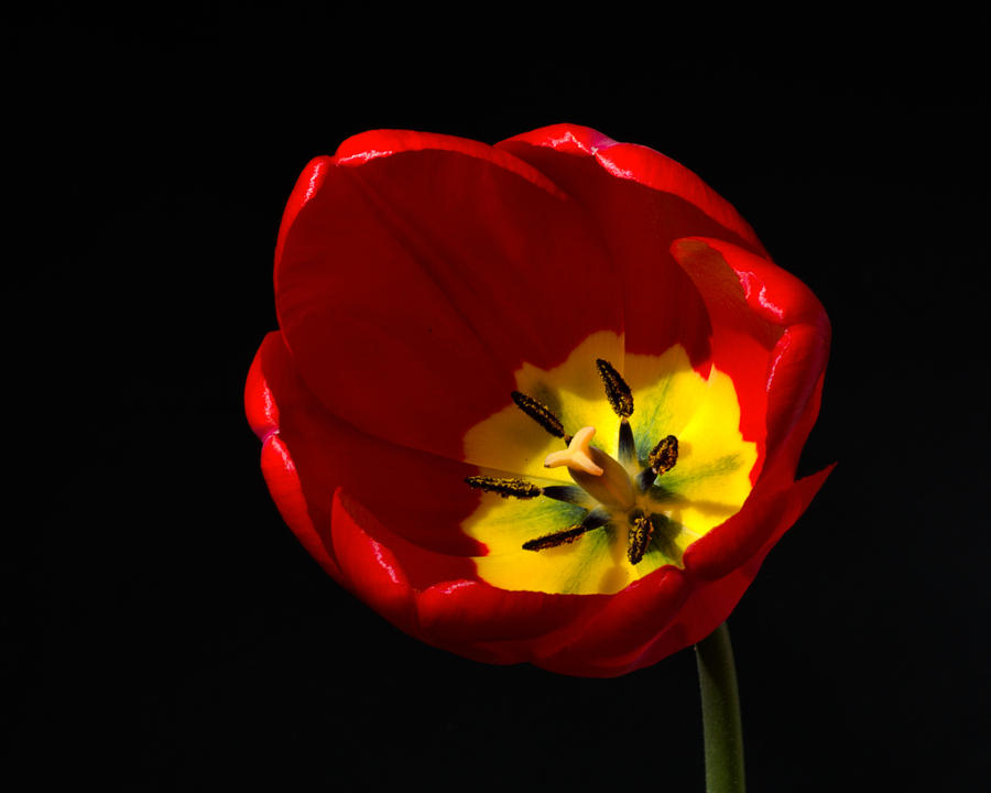 Spring Tulip 1 Photograph by Kenneth Cole
