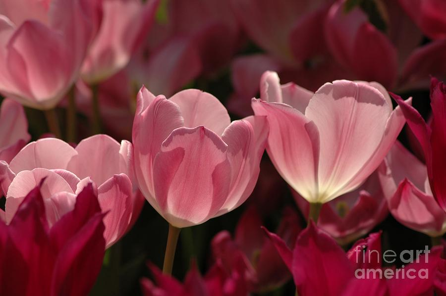 Spring Photograph - Spring Tulips by Kathleen Struckle
